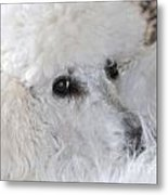 French Poodle Metal Print