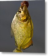 Fresh Piranha Metal Print