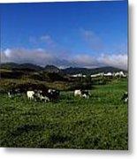 Friesian Cattle, Allihies, Co Cork Metal Print