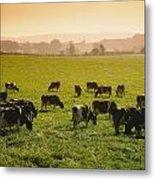 Friesian Cattle Cattle Grazing Metal Print
