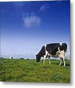 Friesian Cow Grazing In A Field Metal Print