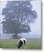 Friesian Cow, Ireland Metal Print