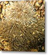 Frilled Sea Anemone Metal Print