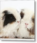 Frizzy Alpaca Guinea Pigs Metal Print