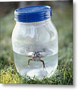 Frog In A Jar Metal Print by Adam Crowley