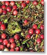 Frog Peaks Up Through Cranberries In Bog Metal Print