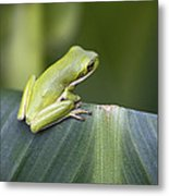 Froggie On A Leaf Metal Print
