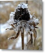 Frost And Snow On Dead Daisy Metal Print