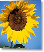 Full Sunflower Metal Print
