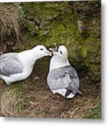 Fulmar Pair Bonding Metal Print