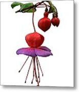 Fushia 'swanley Gem' Metal Print by Archie Young