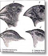 Galapagos Finches Metal Print