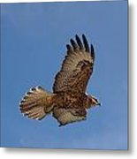Galapagos Hawk Flying Metal Print