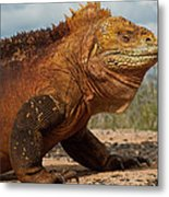 Galapagos Land Iguana Conolophus Metal Print