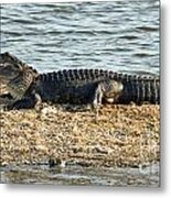Gator Time Metal Print