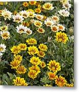 Gazania Gazania Rigens Flowers Metal Print