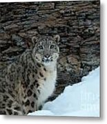 Gaze Of The Snow Leopard Metal Print