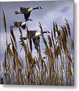 Geese Coming In For A Landing Metal Print