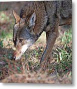 Gentle Wolf Metal Print