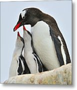 Gentoo Feeding Time Metal Print by Tony Beck