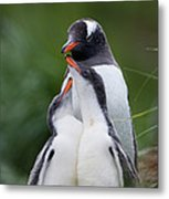 Gentoo Penguin Pygoscelis Papua Hungry Metal Print by Suzi Eszterhas