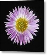 Gerber Daisy In Black Background Metal Print