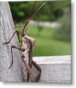 Giant Assassin Bug Metal Print
