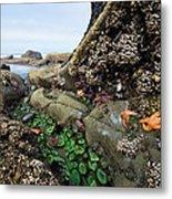 Giant Green Sea Anemone Anthopleura Metal Print
