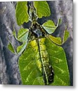 Giant Leaf Insect Metal Print