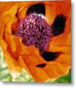 Giant Orange Poppy Metal Print