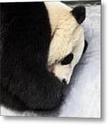 Giant Panda Portrait Metal Print