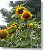 Giant Sunflowers Metal Print