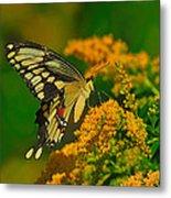 Giant Swallowtail On Goldenrod Metal Print
