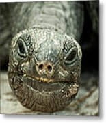 Giant Tortoise Close Up Metal Print