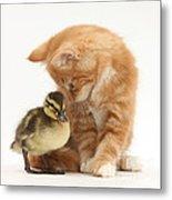Ginger Kitten And Mallard Duckling Metal Print