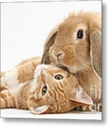 Ginger Kitten Lying With Sandy Lionhead Metal Print