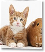 Ginger Kitten With Red Guinea Pig Metal Print