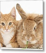 Ginger Kitten With Sandy Lionhead-cross Metal Print