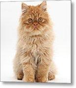 Ginger Persian Kitten Metal Print