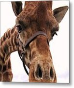 Giraffe Big Nose Metal Print