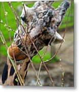 Giraffe Eating Metal Print