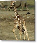 Giraffe Giraffa Camelopardalis Juvenile Metal Print