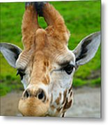 Giraffe In The Park Metal Print