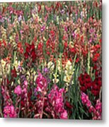 Gladioli Garden In Early Fall Metal Print