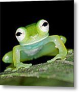 Glass Frog 01 Metal Print