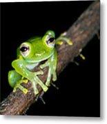 Glass Frog 02 Metal Print