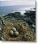 Glaucous-winged Gull Nest With Three Metal Print by Joel Sartore