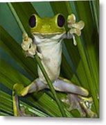 Gliding Leaf Frog Agalychnis Spurrelli Metal Print