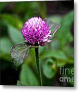 Globe Amaranth Bicolor Rose Metal Print