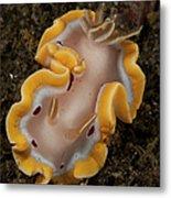 Glossodoris Cruenta Nudibranch, North Metal Print